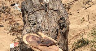 ايدي العابثين تطال شجرة سمر معمرة في قرية القرص أملج