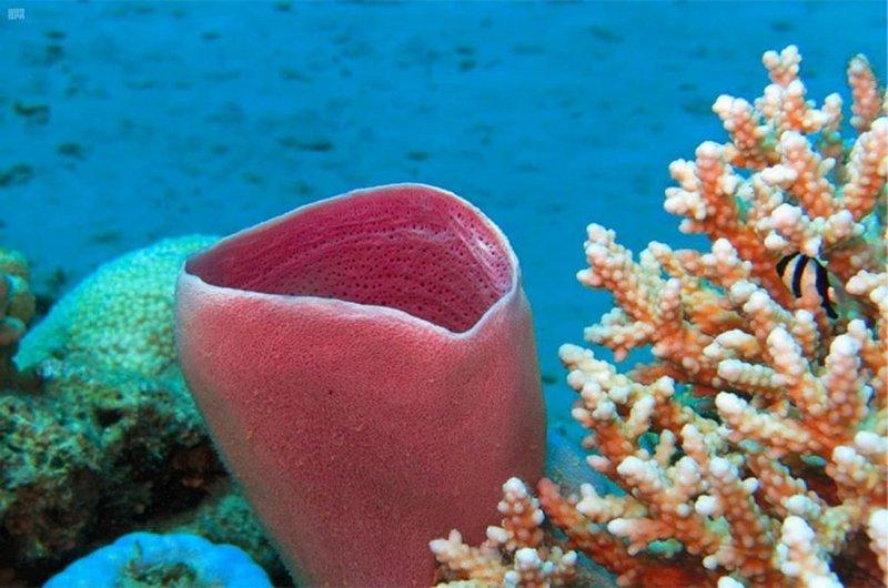طموح سعودي لتحفيز العالم لزيادة حجم الشعاب المرجانية 10%