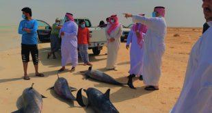 محافظ املج نايف المريخي يقف على عمليات انقاذ مجموعة من الدلافين